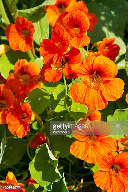 germany, rhineland-palatinate, nasturtium (tropaeolum majus) - nasturtium stock pictures, royalty-free photos & images