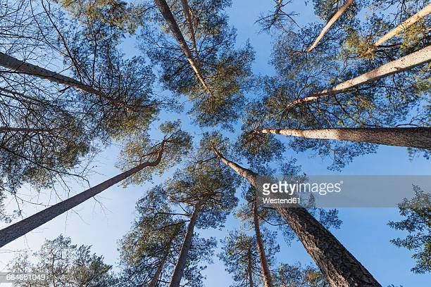 Germany, Rhineland-Palatinate, Scots Pine at Palatinate Forest-North Vosges Biosphere Reserve
