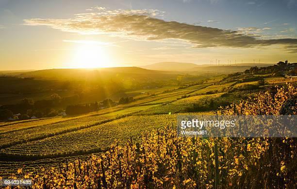 germany, rhineland-palatinate, vineyard in autumn at sunset - ラインラント=プファルツ州 ストックフォトと画像