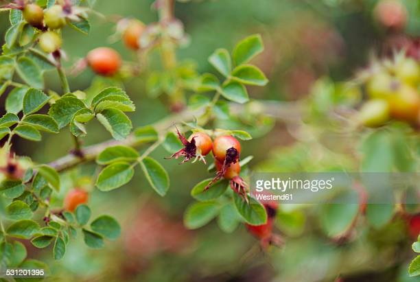germany, rosehips in autumn - dog rose stock photos and pictures