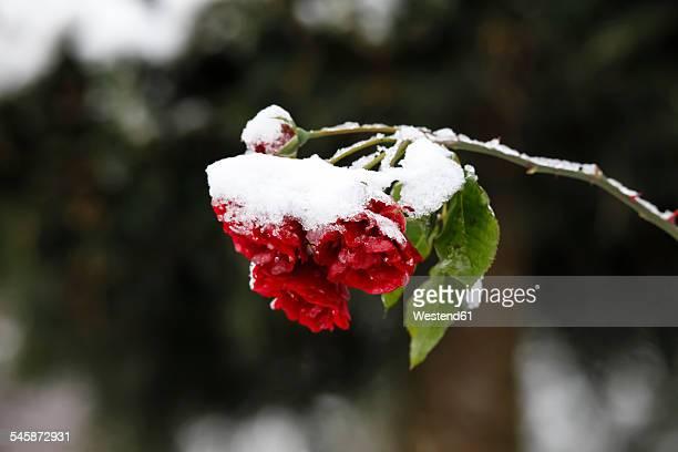 germany, roses in winter - snötäckt bildbanksfoton och bilder