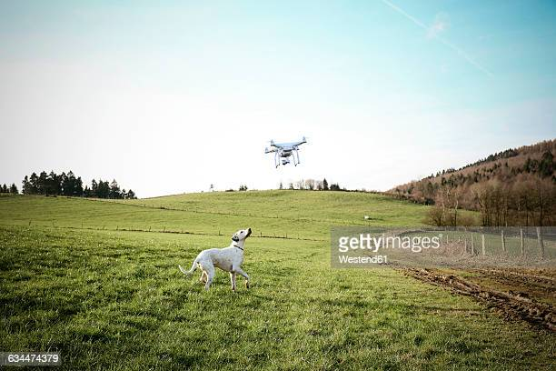 germany, sauerland, mongrel on a meadow watching flying drone - north rhine westphalia stock pictures, royalty-free photos & images