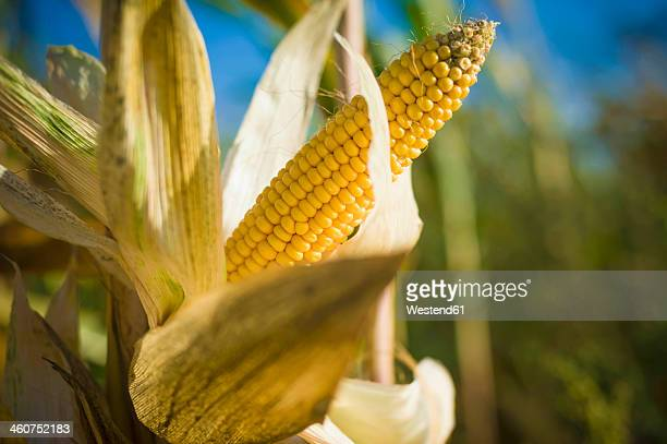 germany, saxony, fresh corn cob on tree - corn stock pictures, royalty-free photos & images