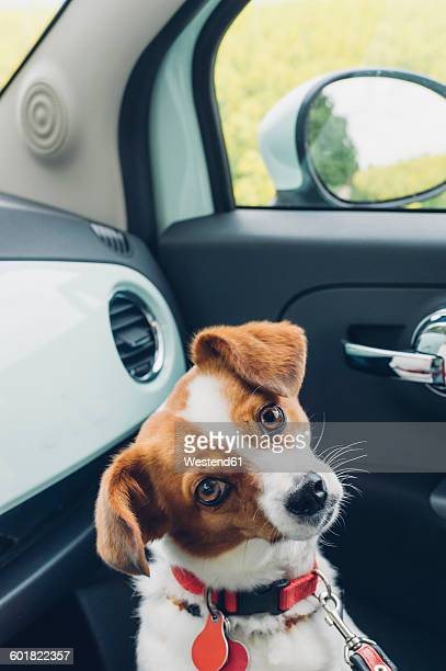 Germany, Saxony, Jack Russel mongrel dog in car