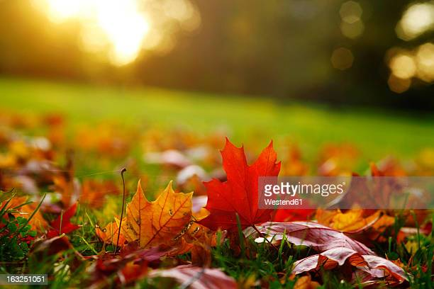 Germany, Saxony, Maple leaves in autumn