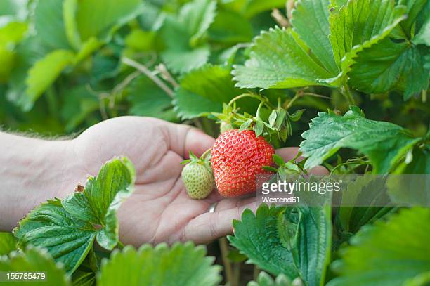 Germany , Saxony, Mature man holding strawberries, closeup