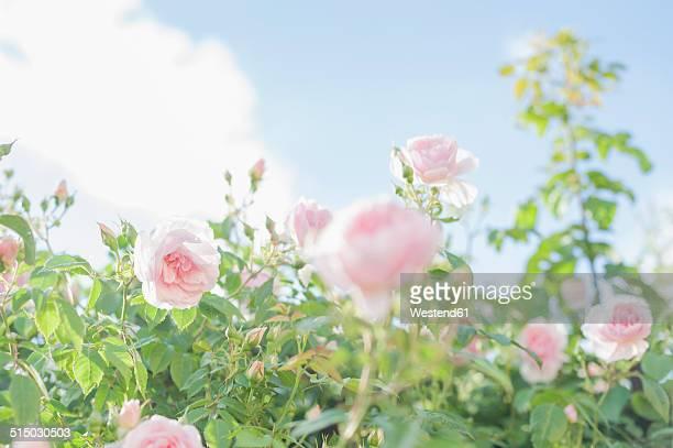 Germany, Saxony, Roses, Rosa