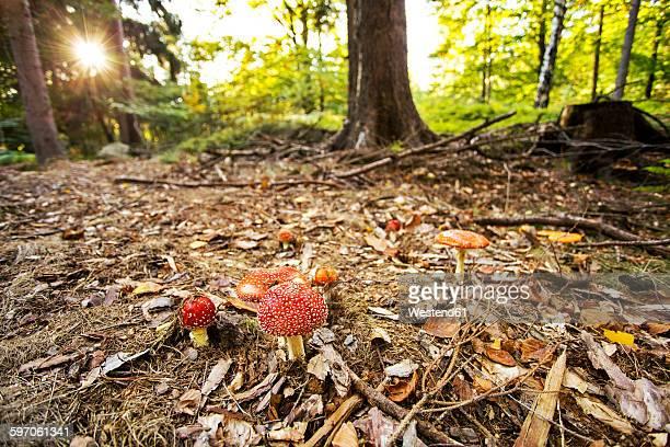 Germany, Saxony, Saxon Schwitzerland, Amanita muscaria in forest near Hinterhermsdorf