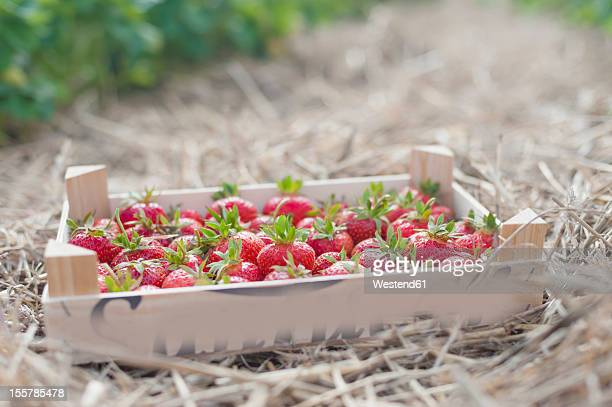 Germany, Saxony, Wooden box of strawberries in field, close up