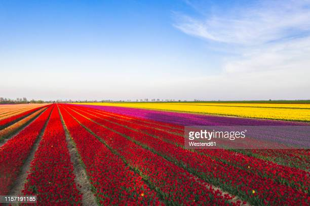 germany, saxony-anhalt, aerial view of tulip fields - saxony anhalt stock pictures, royalty-free photos & images