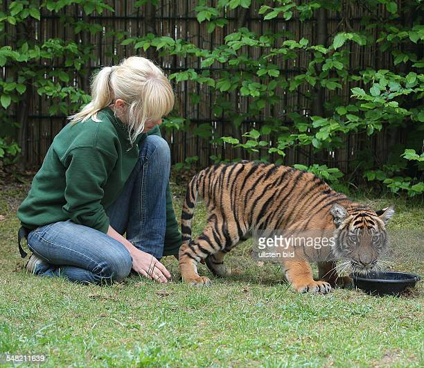 Germany SaxonyAnhalt Halle Bergzoo Halle the paraplegic tiger baby Ranga can now stand on his legs after a physical therapy