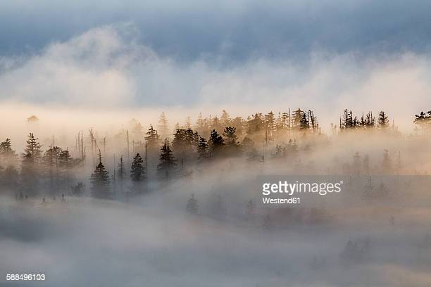 Germany, Saxony-Anhalt, Harz National Park, firs in heavy fog in the evening