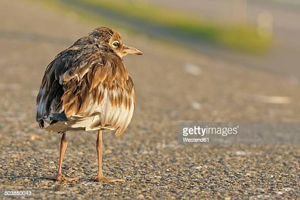 Germany, Schleswig-Holstein, Black-headed gull, Chroicocephalus ridibundus, young animal