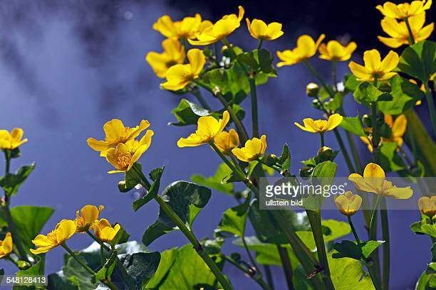 Germany SchleswigHolstein flowering Kingcup Marsh Marigold