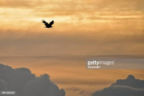 Germany, Schleswig-Holstein, flying white-tailed eagle, Haliaeetus albicilla, at twilight