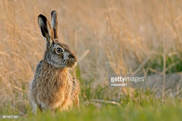 Germany, Schleswig-Holstein, Hare, Leporidae