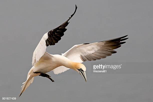 germany, schleswig-holstein, hegoland, flying northern gannet - northern gannet stockfoto's en -beelden