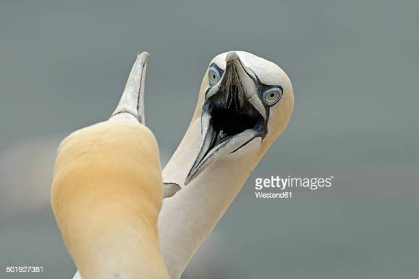 germany, schleswig-holstein, hegoland, northern gannets - dos animales fotografías e imágenes de stock