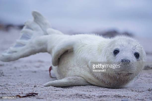germany, schleswig-holstein, helgoland, duene island, grey seal pup (halichoerus grypus) lying on the beach - baby seal stock photos and pictures