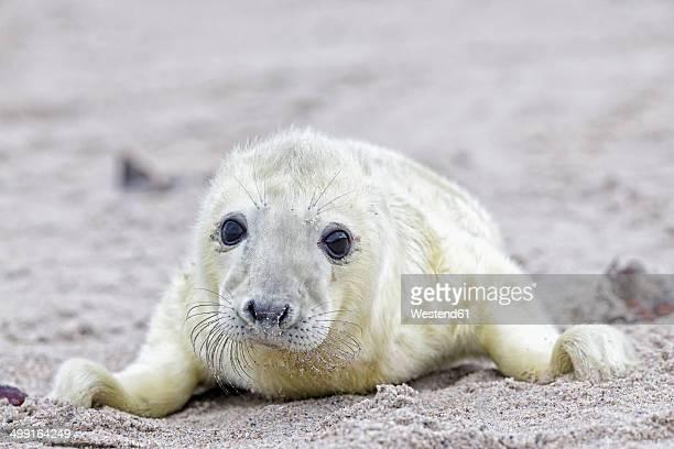 Germany, Schleswig-Holstein, Helgoland, Duene Island, grey seal pup (Halichoerus grypus) lying on the beach