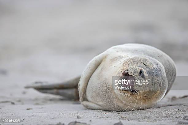 Germany, Schleswig-Holstein, Helgoland, Duene Island, harbour seal pup (Phoca vitulina) lyiing on the beach