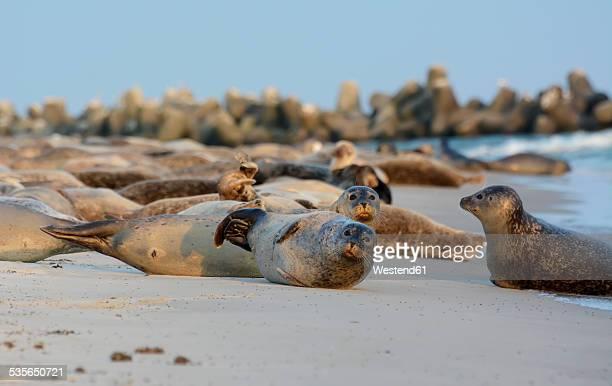 Germany, Schleswig-Holstein, Helgoland, Duene Island, seal colony on beach