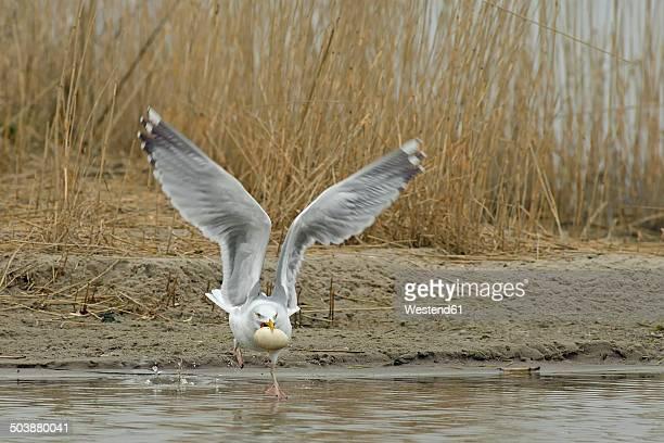 Germany, Schleswig-Holstein, Herring gull, Larus argentatus, stealing egg