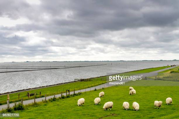 germany, schleswig-holstein, husum, herd of sheep on dike - husum stock-fotos und bilder