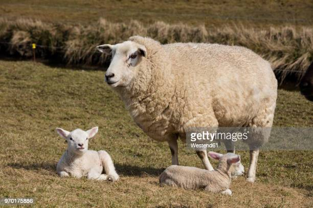 germany, schleswig-holstein, north frisia, sheep and lambs - female animal stock pictures, royalty-free photos & images