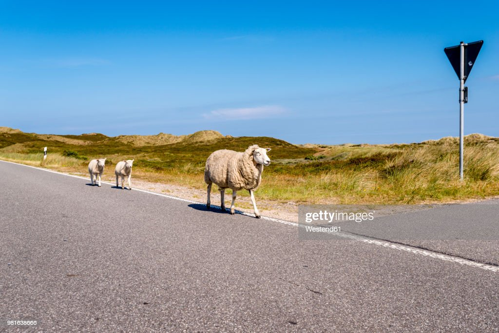 Germany, Schleswig-Holstein, Sylt, Sheep walking on roadside : Stock Photo