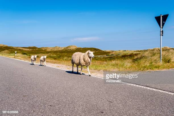 Germany, Schleswig-Holstein, Sylt, Sheep walking on roadside