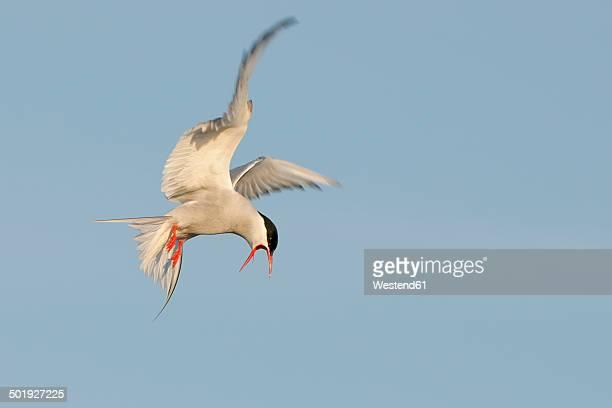 Germany, Schleswig-Holstein, Tern, sternidae