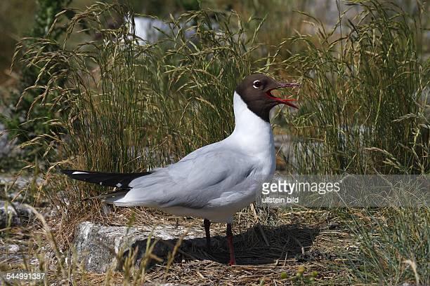 Germany SchleswigHolstein Wattenmeer Blackheaded Gull in breeding area