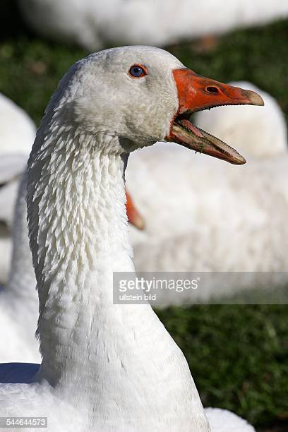 Germany - Schleswig-Holstein - : White domestic goose - watchful - domestic geese