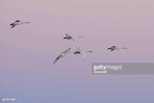 Germany, Schleswig-Holstein, Whooper swans, Cygnus Cygnus, at sunset