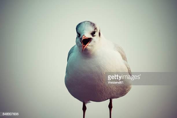 Germany, Screaming seagull