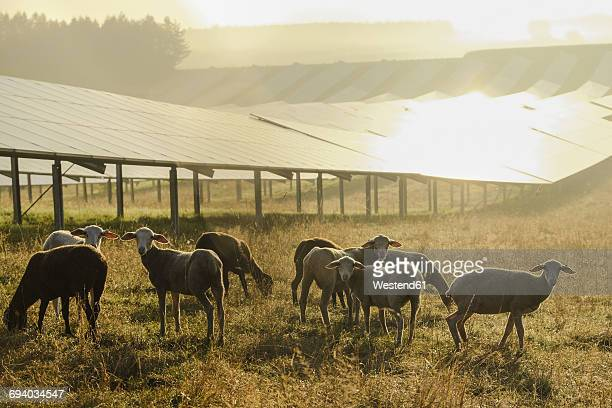 germany, sheeps grazing on a field with solar panels in the morning light - solar stock-fotos und bilder