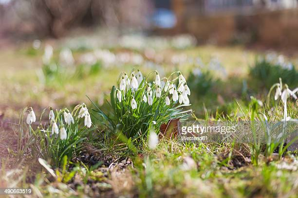 germany, snowdrops on a meadow - snowdrop stock pictures, royalty-free photos & images