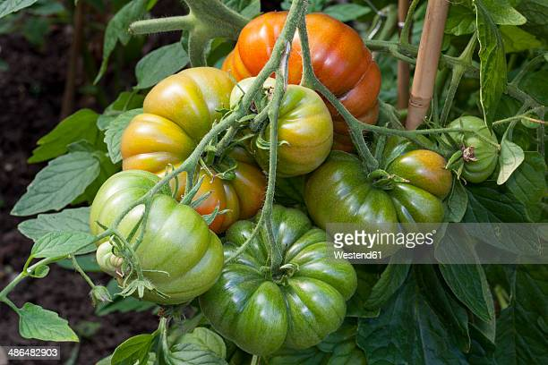 Germany, Solanum lycopersicum, unripe and ripe beef tomatos in a greenhouse