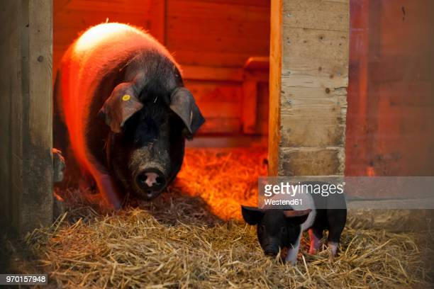 germany, sow and farrow in pigsty on farm - 雌豚 ストックフォトと画像