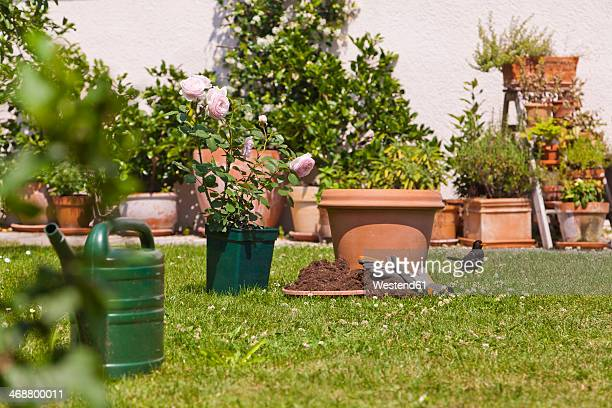Germany, Stuttgart, Flower pots and English rose on lawn in garden