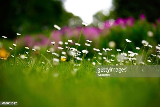Germany, summer meadow in june