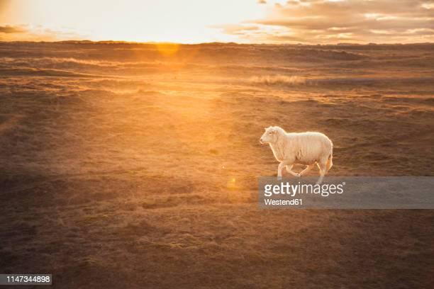 germany, sylt, schleswig holstein wadden sea national park, dune landscape, ellenbogen, running sheep, sunset - one animal stock pictures, royalty-free photos & images