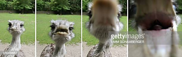 The combo of pictures taken on 09 June 2005 at the zoo in Augsburg southern Germany shows a rhea that seems being interested in the photographer's...