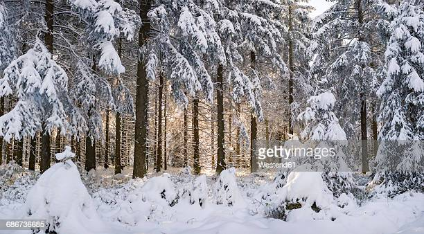 Germany, Thuringia, snow-covered winter forest at morning sunlight