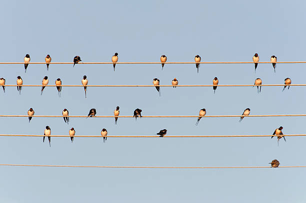 Germany, Unteruhldingen, Flock Of  Barn Swallows On Power Lines Wall Art