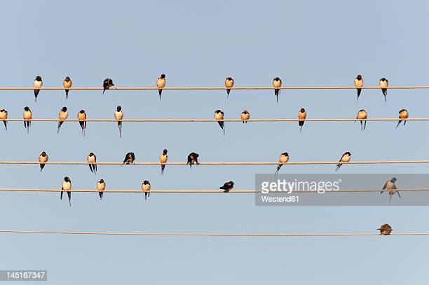 germany, unteruhldingen, flock of barn swallows on power lines - swallow bird stock pictures, royalty-free photos & images