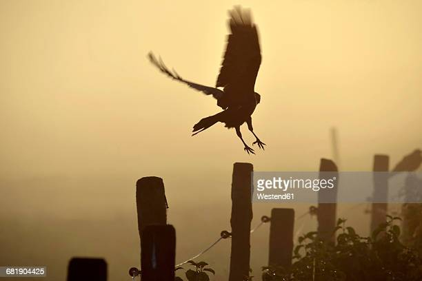 germany, upper bavaria, raven landing on fence in morning fog - crow bird stock photos and pictures