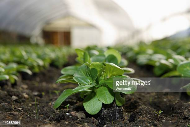 Germany, Upper Bavaria, Weidenkam, View of greenhouse with lettuce