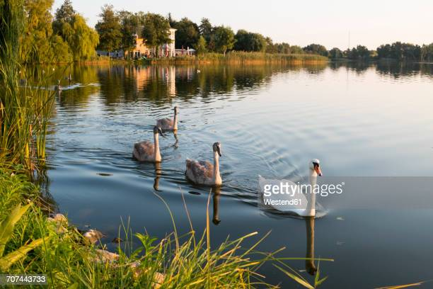 Germany, Usedom, Bansin, mute swans on Schloonsee